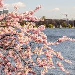 Kirschblütenfest in Hamburg