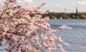 Kirschblütenfest Hamburg